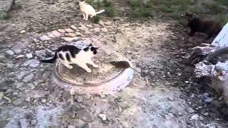 Наглая крыса гоняет котов