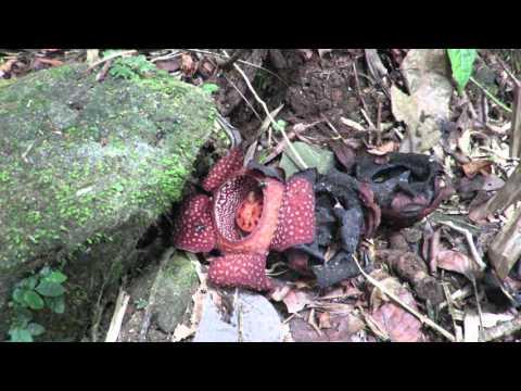 Rafflesia in action