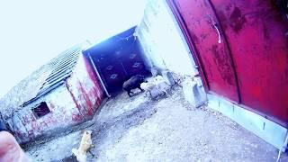 FILE0148 первая притравка  на кабана Флиски с Атосом(собаки Пономарева О) о