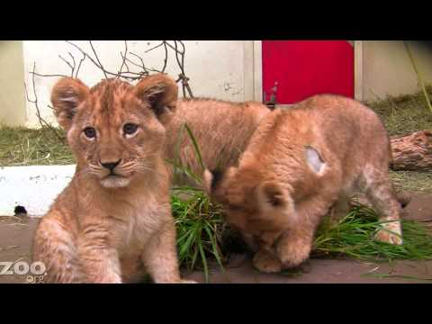 Lion Cubs Get Ready For The Outdoors At Woodland Park Zoo Seattle