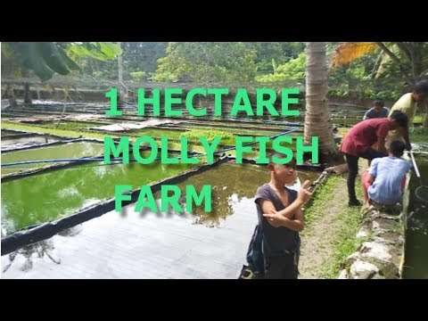 Largest Molly Farm W/ Tips By Mr. Cris - It's More Fun In The Philippines