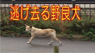以前、この近くで見かけた野良犬ですが、まだ捕獲されずに彷徨いていま...