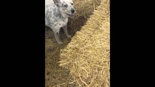 Barn Hunt Training.