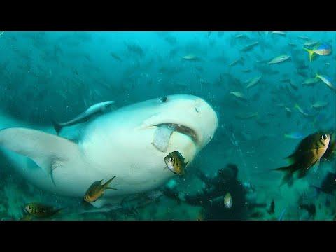 背後から迫りくる人食いザメ(イタチザメ)【ナラギョEp.19】ダイビングでシャークアタック!?