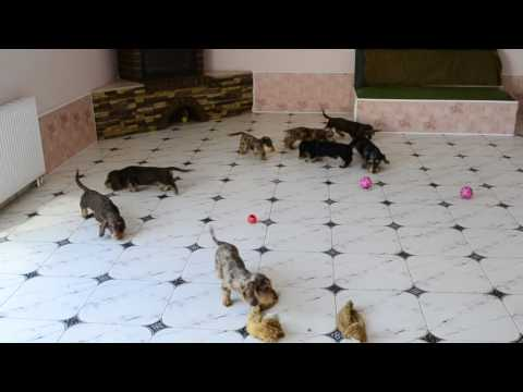 "Wire standard dachshund puppies of kennel ""Iz Novo-Peredelkino"""