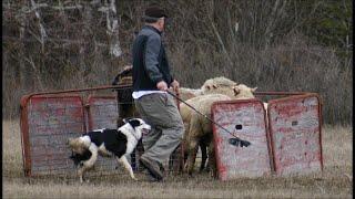 Training Herding Dog to Pen Sheep -- Border Collie -- Stock Work Demo-- Shepherd -- Gate