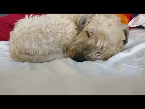 23 minutes of sleeping Soft-coated Wheaten Terrier