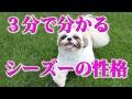 シーズー犬の性格は癒し系  Character of shih tzu Summary