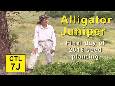 CTL 7j - Alligator Juniper • Final Day of Seed Planting (Chama NM)