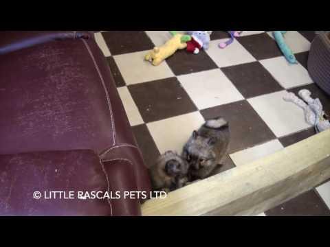 Little Rascals Uk breeders New litter of pure Pomeranian pups - Puppies for Sale UK