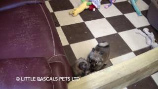 Little Rascals Uk Breeders New Litter Of Pure Pomeranian Pups - Puppies For Sale UK