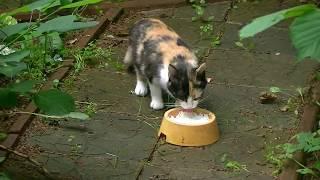 Беременная 3 трех цветная бродячая беспородная и голодная кошка ест творог на даче. Кормим кошку