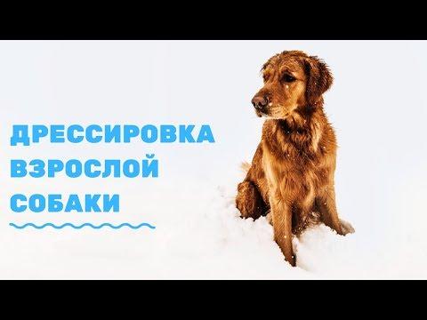 Как дрессировать взрослую собаку