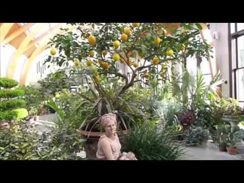 Limonaia at Tower Hill Botanic Garden - YouTube