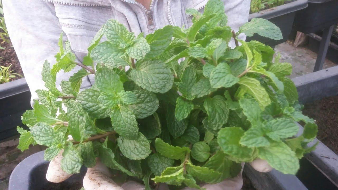 Chia sẻ cách trồng Rau Húng Lủi , dễ trồng , rau ra nhánh khỏe | Khoa Hien 272