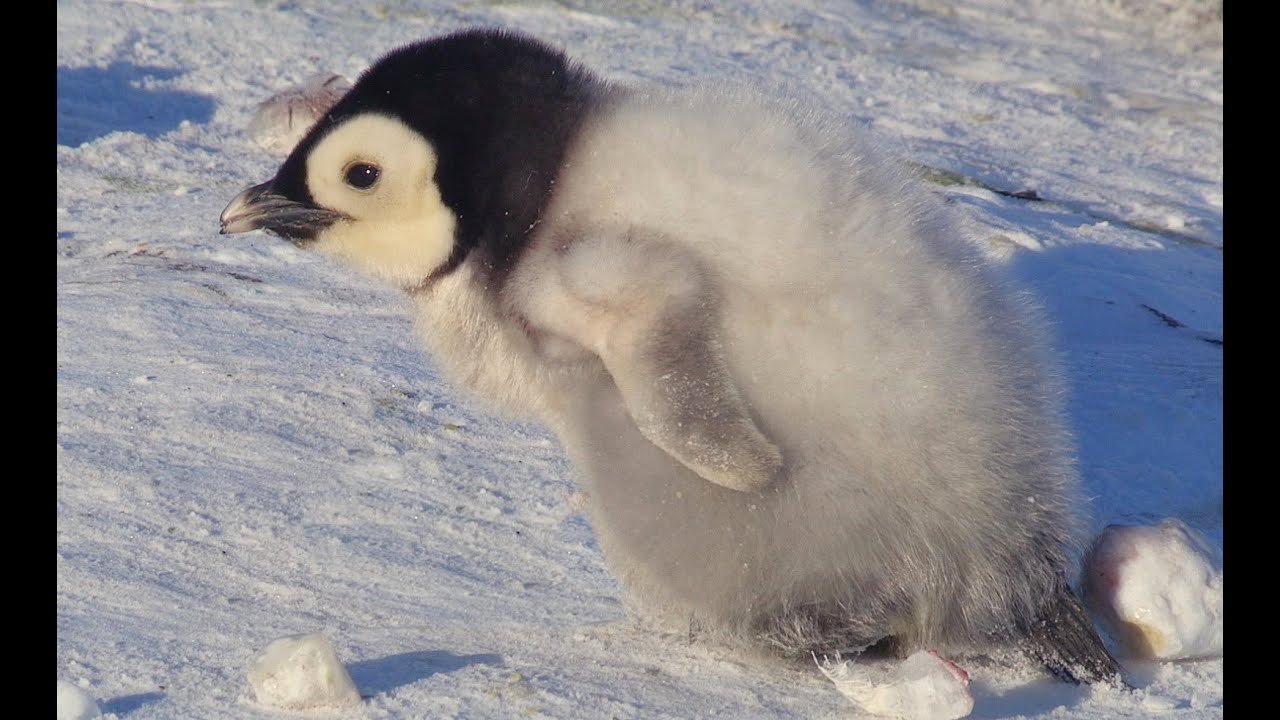 Cute Overload As Penguin Snow Chick Takes His First Steps With Kate Winslet