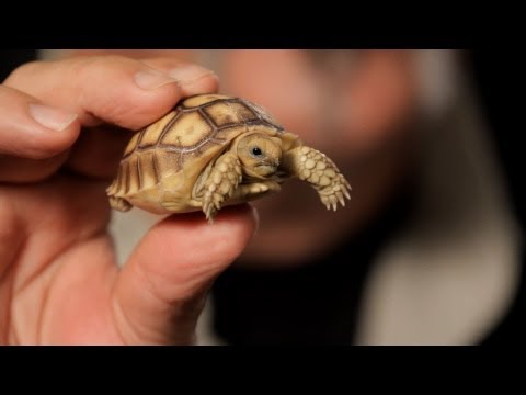 3 Care Tips for Sulcata Tortoises | Pet Reptiles