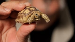 3 Care Tips for Sulcata Tortoises | Pet Reptiles