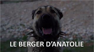 #3 LE BERGER D'ANATOLIE - Vivre avec le sauvage