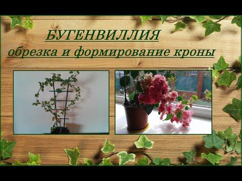 Что нужно для цветения бугенвиллии, обрезка и формирование кроны