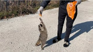 Feeding Wild Raccoons in Chicago!