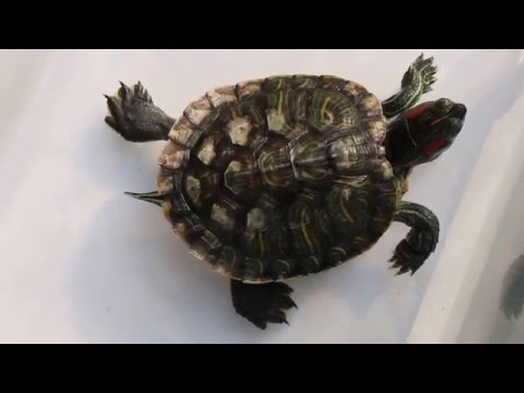 Treatment of shell rot in terrapins