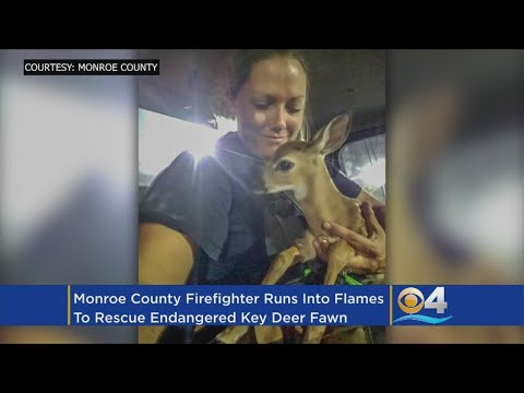 Endangered Key Deer Fawn Rescued From Big Pine Key Brush Fire
