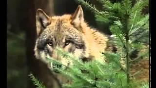 Wölfe zurück in Deutschland