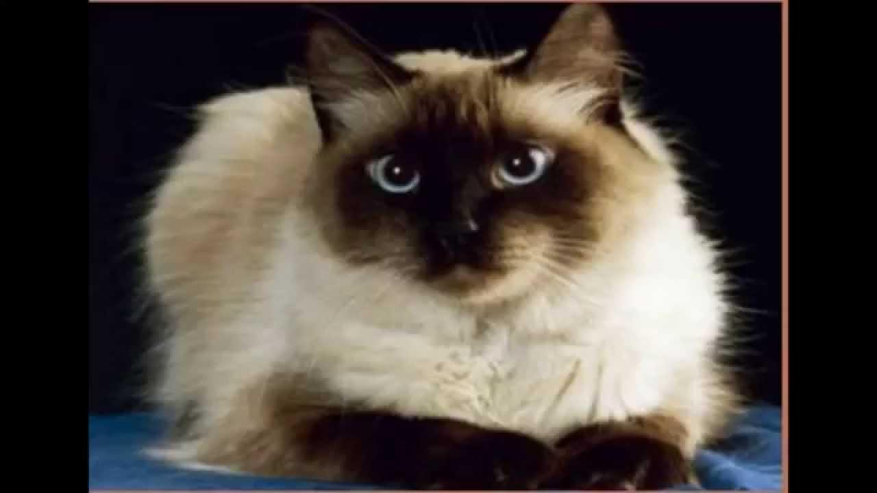 Top 10 De Los Gatos Mas Lindos
