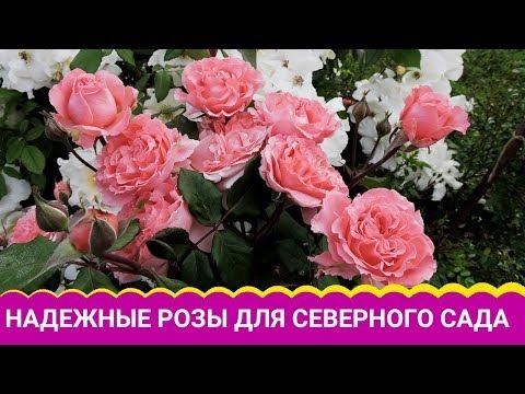 Вопрос: Зимовка роз в Средней полосе какие сорта самые простые?