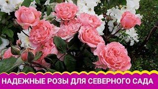 Надежные розы для северного сада