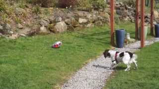 Springer Spaniel Puppy Alfie Barks At The Birthday Balloon