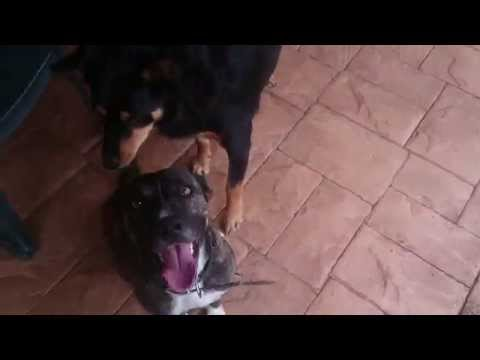 """Cats and dogs playing together """" Dog loves camera"""""""