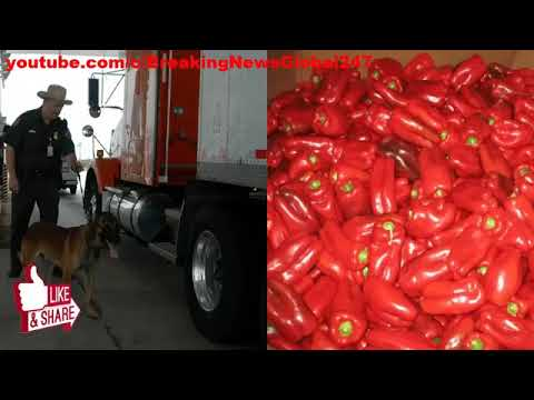 Border Patrol Agents Search Tractor Trailer Full Of Bell Peppers, Make A $7 2 Million Discovery
