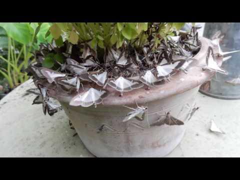 La pyrale du buis un papillon qui d truit les arbustes doovi - Invasion papillon de nuit ...