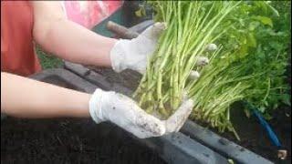 Chia sẻ cách trồng Rau Cần Nước ,Cần Cạn , cho rau xanh và nhanh phát triển  | Khoa Hien 250