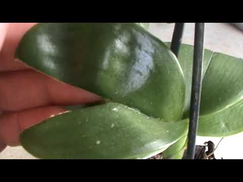 Трещины на листьях орхидеи фаленопсис
