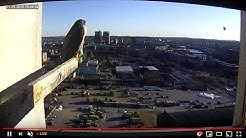 Peregrine Networks Live Peregrine Falcon Feed3 (Manchester, NH, USA)