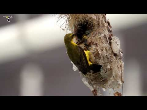 Olive-backed Sunbird Removing Fecal Sac From Nest
