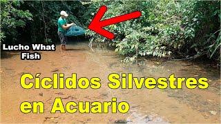 CAPTURANDO CICLIDOS AMERICANOS SALVAJES