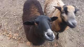 Куры, овцы и коты ) Котлеты из индейки.