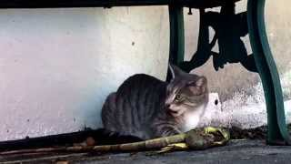 Cat feasting on dead iguana