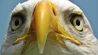 Bald Eagle Bird - Birds of Prey - Awesome Close Up