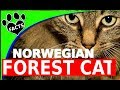 10 Furry Facts About the Norwegian Forest Cat Cats 101 Norsk Skogkatt