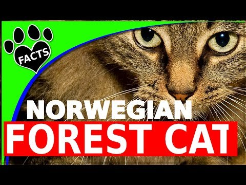 10 Furry Facts About the Norwegian Forest Cat Cats 101 Norsk Skogkatt - Animal Facts