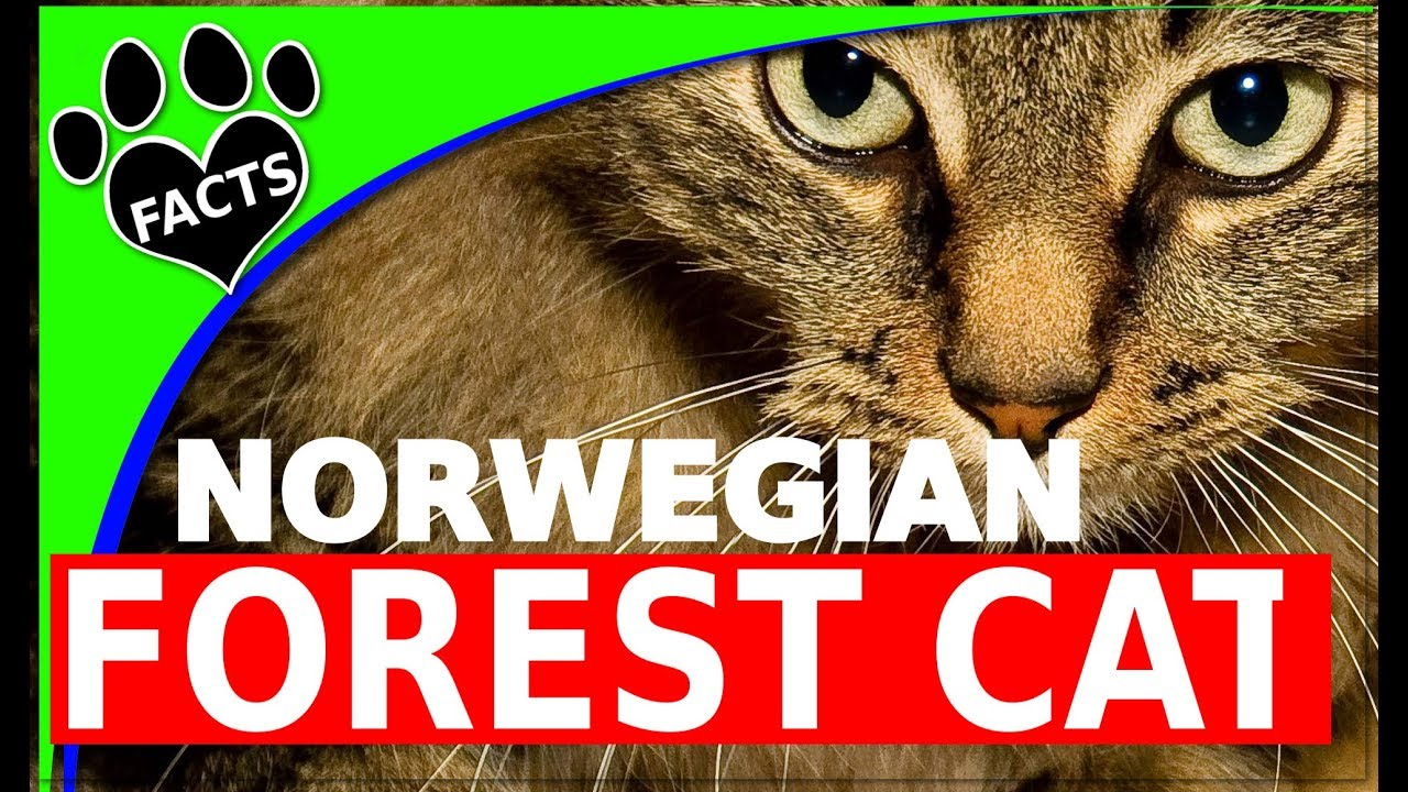 Cats 101: Norwegian Forest Cats - 10  Facts Norsk Skogkatt - Animal Facts