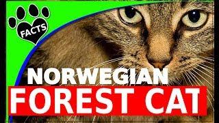 Norwegian Forest Cats  Norsk Skogkatt  Cats 101