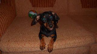 Смешная собака такса бесится. Смешное видео про собак. (Dachshund. Funny video about dogs.)