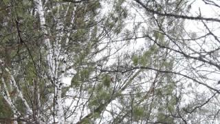 Фото охота на зимнего рябчика с электронным манком