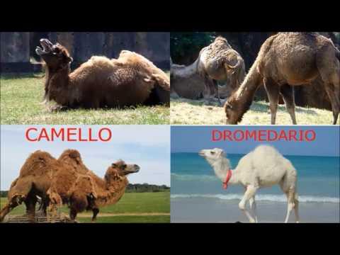 Diferencias entre Camello y dromedario.